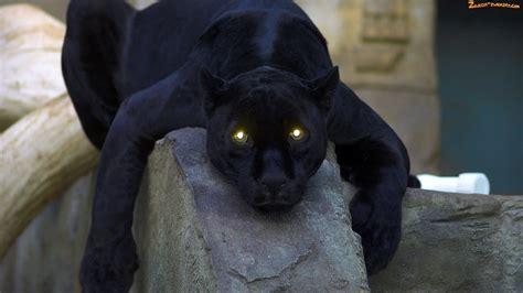 vantablack tattoo gallery zdjęcie oczy pantera świecące