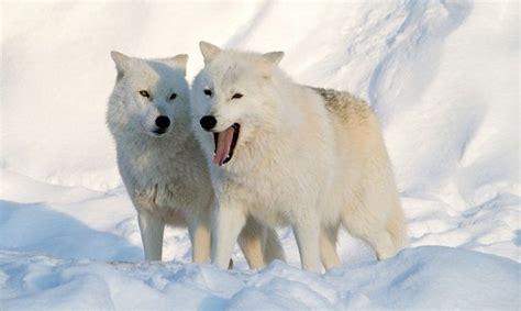 imagenes animales polares animales polares animaleshoy