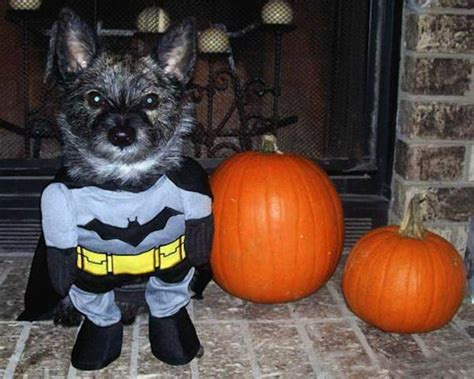 batman puppy 30 costumes for dogs that will put a smile on your