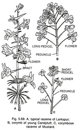 Inflorescence Diagram