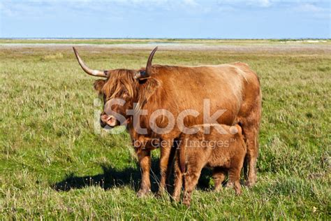 Animal House Absecon by Galloway Cattle Standing In The Meadow Stock Photos