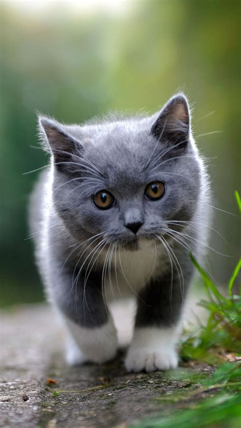 grey kitten wallpaper cute grey kitten mobile wallpaper 7247 kittens wallpapers