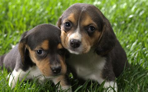 puppies on two tiny beagle puppy on grass wallpapers and images wallpapers pictures photos