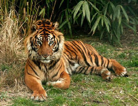 tiger wonderful wild animal nature cat