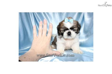 micro shih tzu tiny teacup shih tzu rachael edwards
