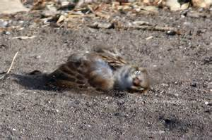 weekend birding sparrows enjoy a dust bath under my