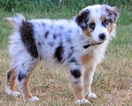 australian sheepdog puppy 55 adorable australian shepherd images and pictures