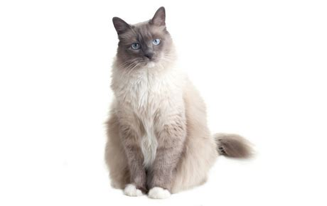 ragdoll cat lifespan ragdoll cat lifespan 2018 cats