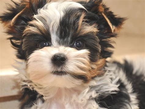 rocky mountain puppies rocky mountain biewer terriers biewer terrier puppies for sale