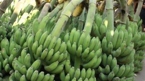 Satu Sisir Pisang Kepok harga pisang kepok di bekasi melambung jadi rp40 ribu
