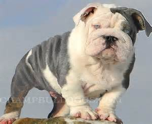 bulldogs colors best 25 blue bulldog ideas on blue
