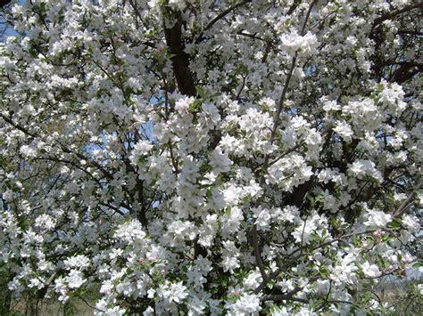 melo da fiore prezzo melo da fiore piante da giardino pianta fiore