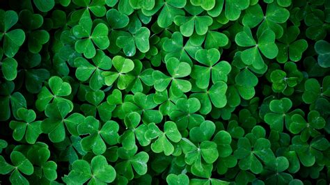 shamrock green download wallpaper 2560x1440 shamrock green leaves macro