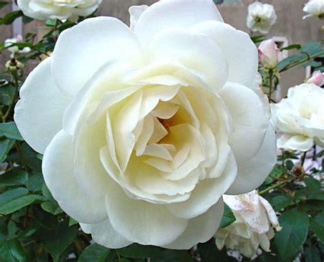imagenes de flores blancas y negras image gallery rosas blancas