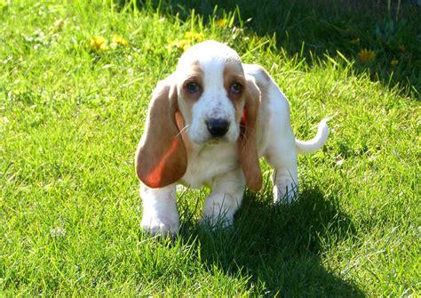 teacup basset hound puppies basset hound quotes