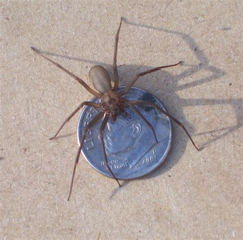 brown recluse image brown recluse www imgkid the image kid has it