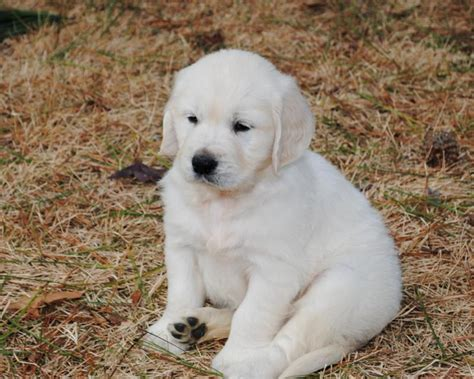 white golden retriever white golden retriever puppy awesome white golden