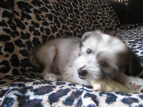 crested puppies for adoption crested puppy chelmsford essex pets4homes