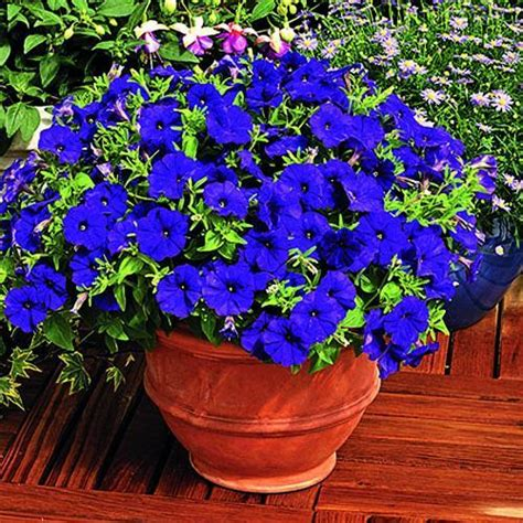 25 beautiful backyard ideas for growing petunias in containers