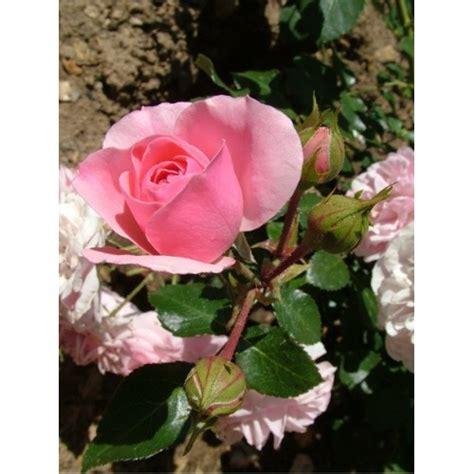 Jual Bibit Bunga Mawar Pink benih mawar pink pink