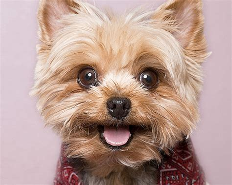 the cutest yorkie in the world cutest yorkies a gallery on flickr