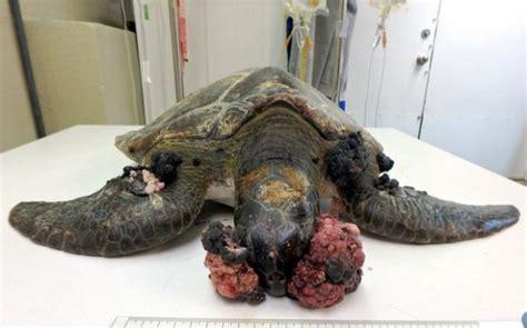 tartarughe marine alimentazione aumentano i casi di fibropapillomatosis nelle tartarughe