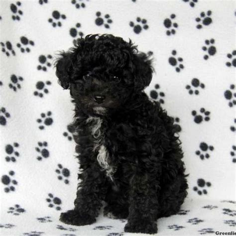 poodle mix puppies for sale in pa poodle mix puppies for sale greenfield puppies