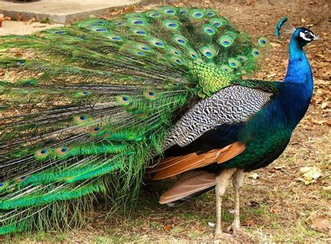 Kipas Bulu Merak dunia hewan burung merak