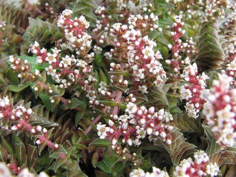 piante grasse da fiore piante grasse con fiore piante grasse piante grasse fiore