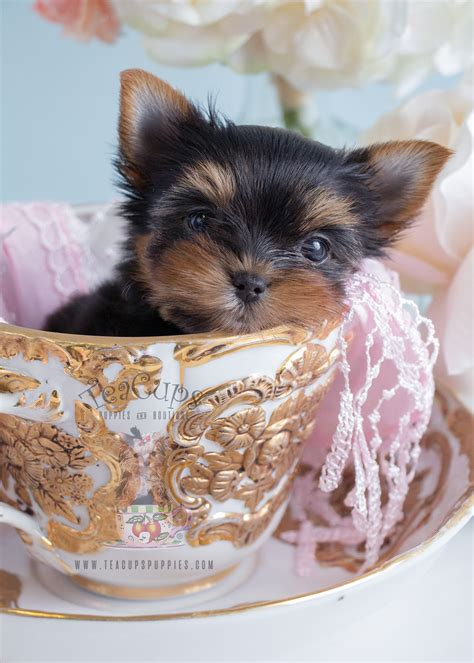 teacup yorkie beds adorable teacup yorkie puppies in south florida at teacups puppies teacups puppies