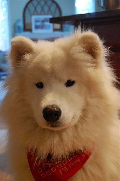 samoyed mixed with pomeranian samoyed corgi mix pictures to pin on pinsdaddy