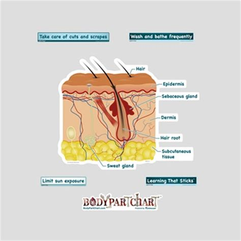 cross section skin bodypartchart simplified skin cross section labeled