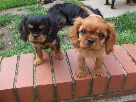 king charles puppies for sale king charles puppies for sale st helens merseyside pets4homes