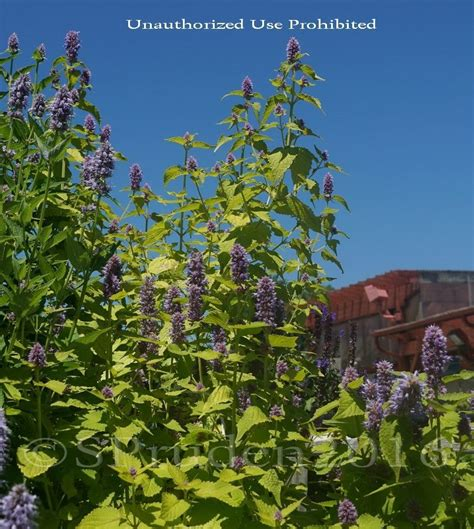 Gardens West Bloomfield by Plantfiles Pictures Agastache Anise Hyssop Blue