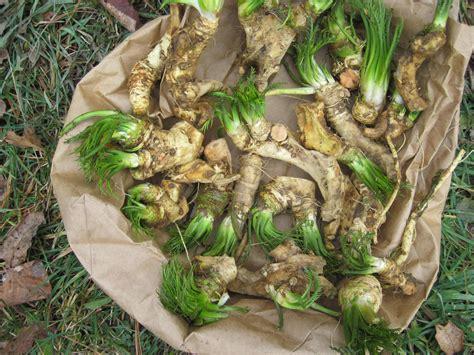 horseradish crowns wooleylot s blog