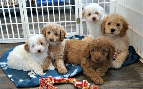 puppy adoption labradoodle adoption information