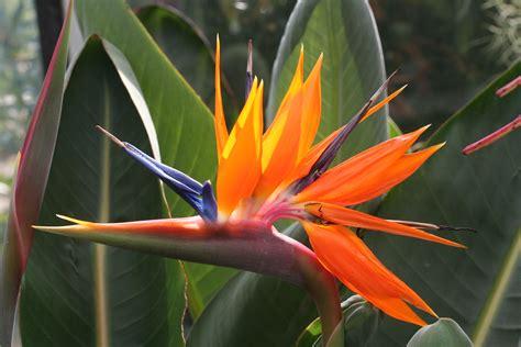 fiore sterlizia strelitzia reginae qjure