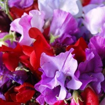 Benih Bibit Biji Bunga Sweet Pea Purple benih sweet pea royal family 2 biji non retail