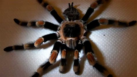 what to do with a dead what to do with dead tarantulas