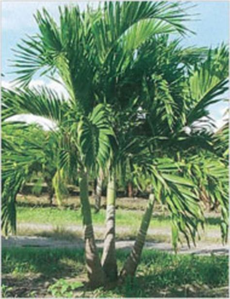 adonidia palm for sale 28 images palm tree adonidia