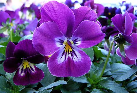 imagenes de flores llamadas pensamientos imagenes de flores llamadas pensamientos