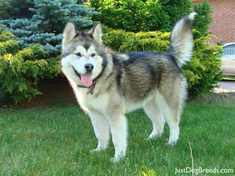 alaskan breeds large hypoallergenic dogs with breeds picture