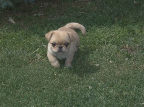 pug with chihuahua chihuahua mixed with pug puppies images