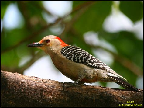 best 28 woodpecker like birds woodpecker and his quot