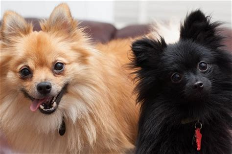 pomeranian limping breeds that live the baxterboo
