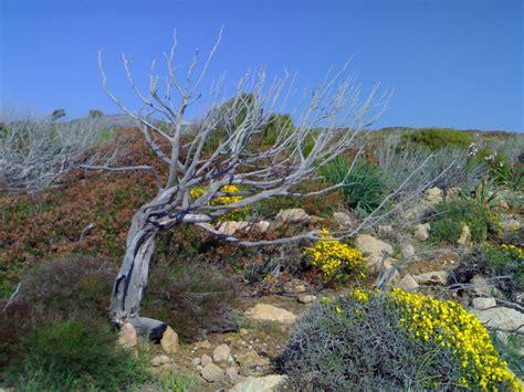 fiori della macchia mediterranea macchia mediterranea in sardegna foto immagini piante
