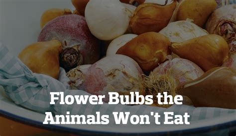 wont eat flower bulbs the animals won t eat pennlive