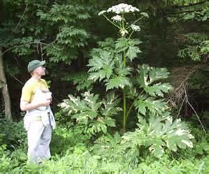 castor blindness hogweed plant may cause blindness severe skin