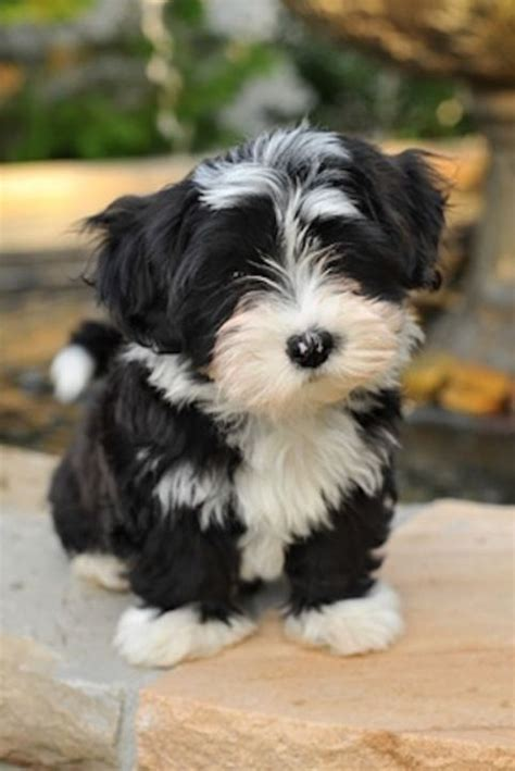 what are havanese puppies black and white havanese things i