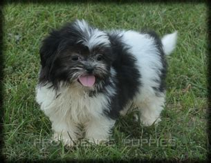 shih tzu puppies iowa view ad shih tzu puppy for sale iowa wayland usa